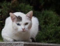 Olhar felino Imagem de Stock Royalty Free