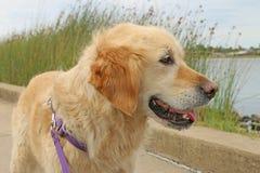 Olhar feliz do cão do golden retriever para fora sobre o lago fotografia de stock royalty free