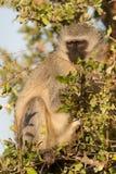 Olhar fixamente azul do macaco Foto de Stock