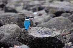 Olhar fixamente colocado um colar do martinho pescatore Fotografia de Stock