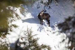 Olhar fixamente da cabra-montesa Fotografia de Stock Royalty Free