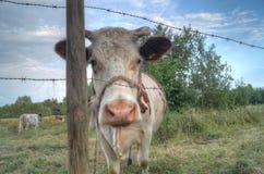 Olhar fixamente da vaca Fotografia de Stock