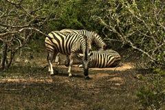 Olhar fixamente da zebra Imagens de Stock