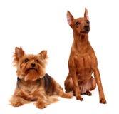Olhar fixamente de dois cães Fotos de Stock Royalty Free