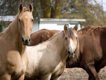Olhar fixamente de dois cavalos Foto de Stock