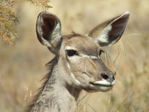 Olhar fixamente de Kudu Fotos de Stock Royalty Free