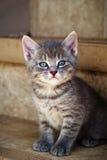 Olhar fixamente do gatinho Fotografia de Stock
