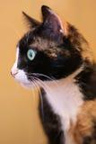 Olhar fixamente do gato Imagens de Stock
