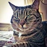 Olhar fixamente do gato de gato malhado Fotografia de Stock