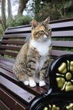 Olhar fixamente do gato de Tabby Fotografia de Stock Royalty Free