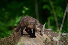 Olhar fixamente do jogo da raposa vermelha do bebê Imagens de Stock Royalty Free