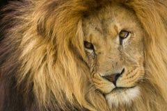 Olhar fixamente do leão Fotos de Stock Royalty Free