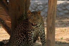 Olhar fixamente do leopardo fotografia de stock royalty free