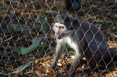 Olhar fixamente do macaque do Rhesus Imagem de Stock