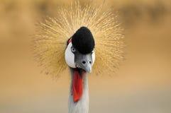 Olhar fixamente do pássaro do guindaste Foto de Stock