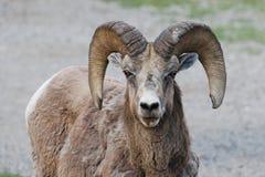 Olhar fixamente dos carneiros de Bighorn Foto de Stock Royalty Free