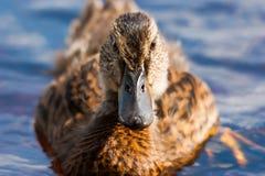 Olhar fixamente fêmea do pato imagens de stock