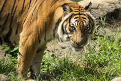 Olhar fixamente malayan irritado do tigre Imagem de Stock Royalty Free