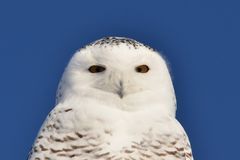 Olhar fixamente nevado da coruja Imagens de Stock