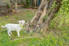 Olhar fixo branco impertinente do gato em algo imagens de stock royalty free