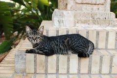 Olhar fixo da aléia do gato Fotografia de Stock Royalty Free