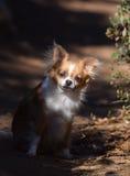Olhar fixo da chihuahua imagens de stock