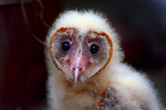 Olhar fixo da coruja de celeiro do bebê imagens de stock royalty free