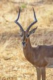 Olhar fixo da impala Fotos de Stock Royalty Free