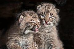 Olhar fixo de Bobcat Kits do bebê (rufus do lince) para fora do log Imagens de Stock