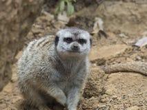 Olhar fixo de Meerkat Fotografia de Stock Royalty Free