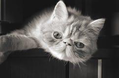 Olhar fixo de um gato novo Fotos de Stock Royalty Free