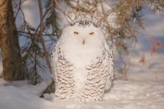 Olhar fixo de uma coruja Foto de Stock