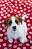 Olhar fixo do cachorrinho Imagens de Stock