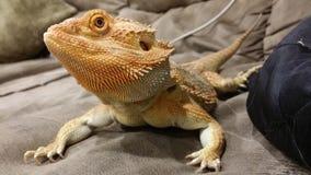 Olhar fixo do dragão imagem de stock