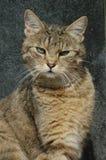 Olhar fixo do gato Imagem de Stock Royalty Free