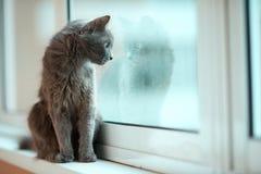 Olhar fixo do gato azul do russo para fora a janela Fotos de Stock