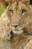 Olhar fixo do leão Imagens de Stock