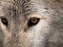 Olhar fixo do lobo Imagem de Stock