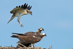 Olhar fixo do Osprey (haliaetus do Pandion) Imagem de Stock Royalty Free