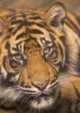 Olhar fixo do tigre Imagem de Stock Royalty Free