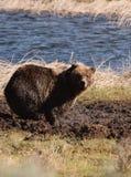 Olhar fixo do urso Imagens de Stock
