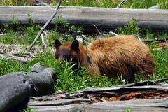 Olhar fixo do urso preto imagem de stock
