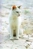 Olhar fixo dos olhos de gato Imagem de Stock