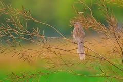 Olhar fixo estriado do amanhecer da tagarela Imagens de Stock