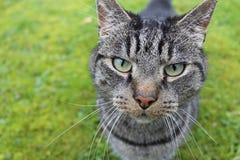 Olhar fixo intenso de um gato disperso Fotos de Stock Royalty Free