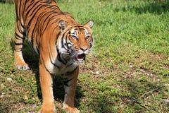 Olhar fixo intenso do tigre e boca aberta foto de stock