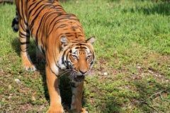 Olhar fixo intenso do tigre e boca aberta imagem de stock