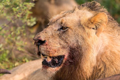 Olhar fixo irritado do leão através das folhas prontas para matar Imagens de Stock Royalty Free