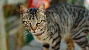 Olhar fixo profundo do gato Fotos de Stock