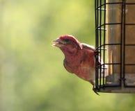 Olhar fixo roxo do passarinho Fotografia de Stock